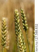 Купить «the ears of cereals photographed by a close up. small depth of sharpness», фото № 27588832, снято 23 февраля 2019 г. (c) PantherMedia / Фотобанк Лори