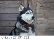 Купить «Собака породы Сибирский хаски возле деревянного дома», фото № 27591752, снято 5 июня 2016 г. (c) Татьяна Белова / Фотобанк Лори