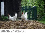 Купить «dunghill with chickens», фото № 27592216, снято 25 марта 2019 г. (c) PantherMedia / Фотобанк Лори