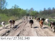 Купить «cows coming back from pasture», фото № 27592340, снято 10 декабря 2018 г. (c) PantherMedia / Фотобанк Лори