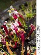 Купить «Close up of carnivorous plants», фото № 27613208, снято 21 марта 2018 г. (c) PantherMedia / Фотобанк Лори