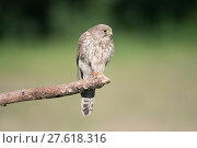 Купить «Female Kestrel (Falco tunninculus) perched on branch, France, June.», фото № 27618316, снято 18 июля 2018 г. (c) Nature Picture Library / Фотобанк Лори