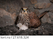 Купить «Female Kestrel (Falco tunninculus) incubating chicks in nest, France, May.», фото № 27618324, снято 18 июля 2018 г. (c) Nature Picture Library / Фотобанк Лори