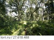 Купить «oak forest with fern», фото № 27618488, снято 22 мая 2019 г. (c) PantherMedia / Фотобанк Лори