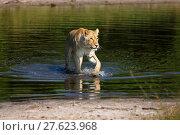 Купить «lioness in chobe national park in botswana while wading through a river», фото № 27623968, снято 26 июня 2019 г. (c) PantherMedia / Фотобанк Лори