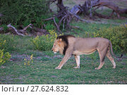 Купить «lion», фото № 27624832, снято 23 мая 2019 г. (c) PantherMedia / Фотобанк Лори