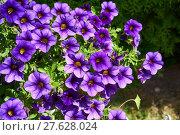Купить « petunia floral splendor», фото № 27628024, снято 18 января 2019 г. (c) PantherMedia / Фотобанк Лори