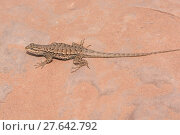Купить «Desert Spiny Lizard in the wilderness», фото № 27642792, снято 17 января 2019 г. (c) PantherMedia / Фотобанк Лори