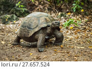 Купить «Galapagos giant tortoise walking along gravel path», фото № 27657524, снято 20 марта 2019 г. (c) PantherMedia / Фотобанк Лори