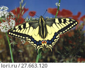 Купить «Schwalbenschwanz, Papilio machaon, Old World Swallowtail, in Sommerwiese auf weisser Blüte vor blühendem Mohn und blauem Himmel», фото № 27663120, снято 23 января 2019 г. (c) PantherMedia / Фотобанк Лори