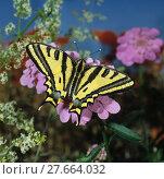 Купить «Südlicher Schwalbenschwanz, Southern Swallowtail, seltener Tagfalter, auf rosa Blüte», фото № 27664032, снято 23 января 2019 г. (c) PantherMedia / Фотобанк Лори