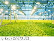 Купить «Growing cucumbers in a greenhouse», фото № 27673332, снято 5 февраля 2018 г. (c) Андрей Шалари / Фотобанк Лори