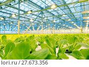 Купить «Growing cucumbers in a greenhouse», фото № 27673356, снято 5 февраля 2018 г. (c) Андрей Шалари / Фотобанк Лори
