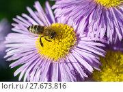 Купить «Пчела собирает нектар на цветке мелколепестника (лат. Erigeron)», эксклюзивное фото № 27673816, снято 24 июля 2017 г. (c) Елена Коромыслова / Фотобанк Лори