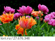 Купить «tulips splendor», фото № 27676348, снято 18 января 2019 г. (c) PantherMedia / Фотобанк Лори