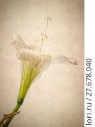 Купить «blooming amaryllis flower», фото № 27678040, снято 25 мая 2019 г. (c) PantherMedia / Фотобанк Лори