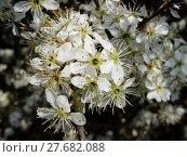 Купить «blossoms blackthorn sloe filigree bleed», фото № 27682088, снято 21 марта 2019 г. (c) PantherMedia / Фотобанк Лори