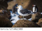 Купить «Kelp gull perched on rock in sunshine», фото № 27682580, снято 19 февраля 2018 г. (c) PantherMedia / Фотобанк Лори