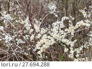 Купить «blossoms of thorny shrub hawthorn in spring», фото № 27694288, снято 9 декабря 2018 г. (c) PantherMedia / Фотобанк Лори