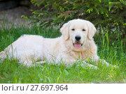 Купить «Золотистый ретивер лежит на траве», фото № 27697964, снято 1 июня 2016 г. (c) Татьяна Белова / Фотобанк Лори