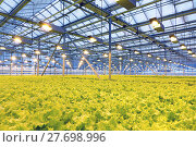 Купить «Growing cucumbers in a greenhouse», фото № 27698996, снято 5 февраля 2018 г. (c) Андрей Шалари / Фотобанк Лори