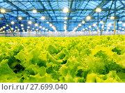 Купить «Growing cucumbers in a greenhouse», фото № 27699040, снято 5 февраля 2018 г. (c) Андрей Шалари / Фотобанк Лори