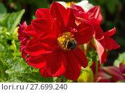Купить «Цветок красной георгины (лат. Dаhlia) со шмелем в саду», фото № 27699240, снято 19 августа 2017 г. (c) Елена Коромыслова / Фотобанк Лори