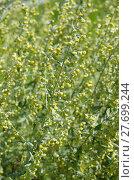 Купить «Полынь лимонная, или полынь лечебная, или полынь высокая (лат. Artemisia abrotanum)», фото № 27699244, снято 19 августа 2017 г. (c) Елена Коромыслова / Фотобанк Лори