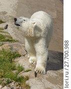 Купить «Huge polar bear walks», фото № 27700988, снято 8 июля 2013 г. (c) Валерия Попова / Фотобанк Лори