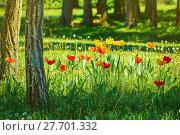 Купить «Tulips in the Forest», фото № 27701332, снято 21 февраля 2019 г. (c) PantherMedia / Фотобанк Лори