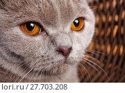 Купить «portrait of gray cat with yellow eyes Scottish Fold», фото № 27703208, снято 22 февраля 2018 г. (c) PantherMedia / Фотобанк Лори