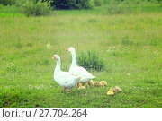 Купить «flight of white geese on the meadow», фото № 27704264, снято 19 июня 2019 г. (c) PantherMedia / Фотобанк Лори