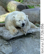 Купить «canada weiss weiß polar bear», фото № 27726056, снято 20 апреля 2019 г. (c) PantherMedia / Фотобанк Лори