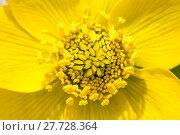 Купить «Yellow marsh marigold flower blossom», фото № 27728364, снято 23 июля 2019 г. (c) PantherMedia / Фотобанк Лори