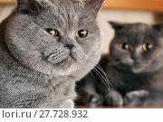 Купить «Cats sitting under a bed in mating period», фото № 27728932, снято 2 февраля 2018 г. (c) Георгий Дзюра / Фотобанк Лори