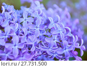 Купить «Blooming lilac flowers, spring flower background», фото № 27731500, снято 23 мая 2016 г. (c) Зезелина Марина / Фотобанк Лори