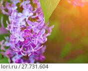 Купить «Lilac flowers, spring flower background. Selective focus at the lilac flowers», фото № 27731604, снято 17 мая 2016 г. (c) Зезелина Марина / Фотобанк Лори