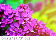 Купить «Lilac flowers in sunny garden, spring flower background. Selective focus at the lilac flowers, free space», фото № 27731652, снято 23 мая 2016 г. (c) Зезелина Марина / Фотобанк Лори