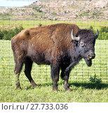 Купить «Buffalo of Oklahoma.», фото № 27733036, снято 16 января 2019 г. (c) PantherMedia / Фотобанк Лори
