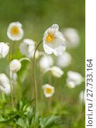 Купить «anemone anemoneae hahnenfußartige hahnenfußgewächse ranunculaceae», фото № 27733164, снято 20 апреля 2019 г. (c) PantherMedia / Фотобанк Лори