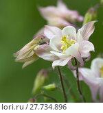 Купить «pink akeleien aquilegia hahnenfußartige hahnenfußgewächse», фото № 27734896, снято 20 апреля 2019 г. (c) PantherMedia / Фотобанк Лори
