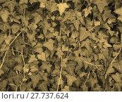 Купить «Ivy background sepia», фото № 27737624, снято 22 сентября 2019 г. (c) PantherMedia / Фотобанк Лори