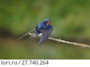 Купить «Barn swallow lakefront», фото № 27740264, снято 22 октября 2019 г. (c) PantherMedia / Фотобанк Лори