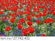 Купить «tulips splendor», фото № 27742432, снято 18 января 2019 г. (c) PantherMedia / Фотобанк Лори