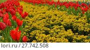 Купить «tulips splendor», фото № 27742508, снято 18 января 2019 г. (c) PantherMedia / Фотобанк Лори