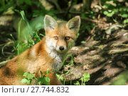 Купить «young fox at the burrow», фото № 27744832, снято 22 марта 2019 г. (c) PantherMedia / Фотобанк Лори