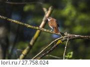 Купить «nightingale (luscinia megarhynchos)», фото № 27758024, снято 26 мая 2019 г. (c) PantherMedia / Фотобанк Лори