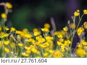 Купить «Yellow buttercup meadow», фото № 27761604, снято 20 марта 2019 г. (c) PantherMedia / Фотобанк Лори