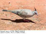 Купить «Pigeon. Uluru Kata Tjuta National Park (Ayers Rock)», фото № 27762932, снято 25 мая 2019 г. (c) age Fotostock / Фотобанк Лори