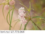 Купить «Light pink flower clusters of the narrow leafed milkweed», фото № 27773064, снято 23 марта 2019 г. (c) PantherMedia / Фотобанк Лори